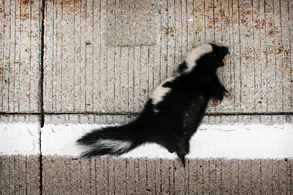 Mephitis mephitis | Striped Skunk Shade, Ohio