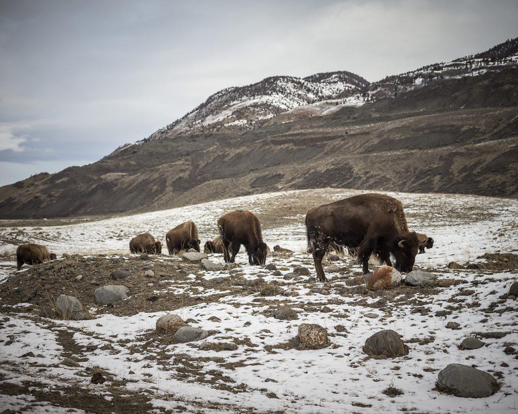 Buffalo wander along the border of Yellowstone National Park.